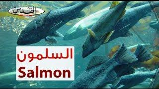 ما لا تعرفونه عن سمك السلمون.. شاهد كيف يتم إنتاج السلمونيّات بالطرق الحديثة!