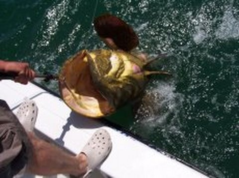 Huge Grouper Caught by Cape Coral Man