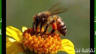 5 معلومات رائعة عن النحل