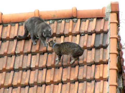 Un chat et une chatte.wmv