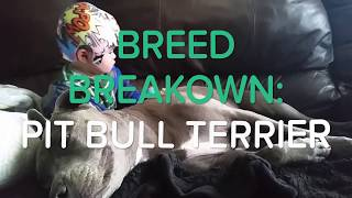 BREED BREAKDOWN: PIT BULLS | is a pit bull the right pet for you?