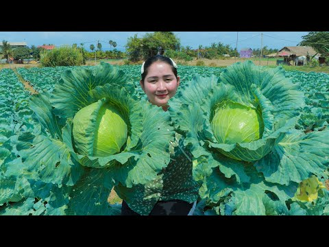 Harvest Cabbage From Hill Gardening For Soup Cabbage Soup Sros Yummy Cooking Vlogs