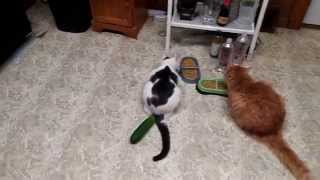 Cucumbers scaring cats