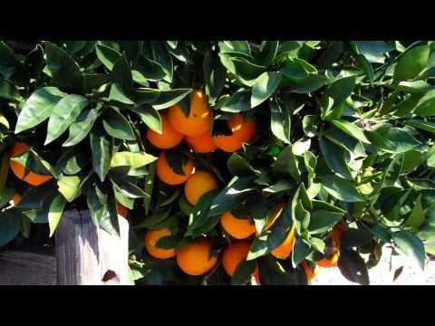 Orange Tree Advice