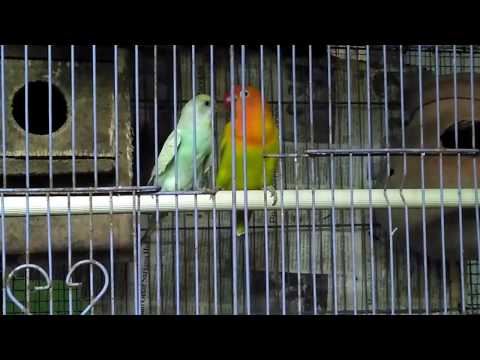 Hybrid Project Lovebird kawin silang parkit