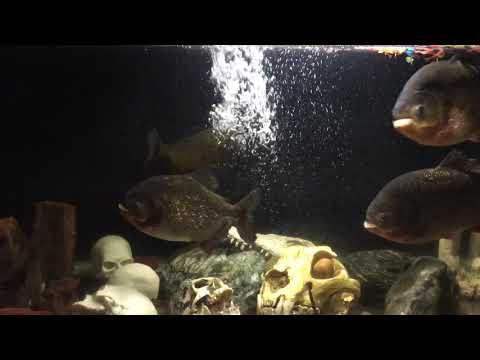 Xxx Mp4 Red Bellied Piranhas HOT 3gp Sex