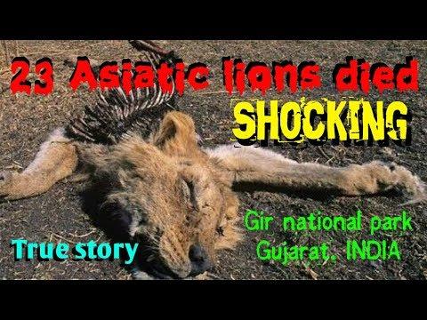 Xxx Mp4 Shocking Death Of 23 Asiatic Lions At Gir National Park गीर जंगलमें 23 एशियाई बब्बर शेरों की मौत 3gp Sex