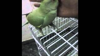 indian ringneck male parrot talking in hindi..