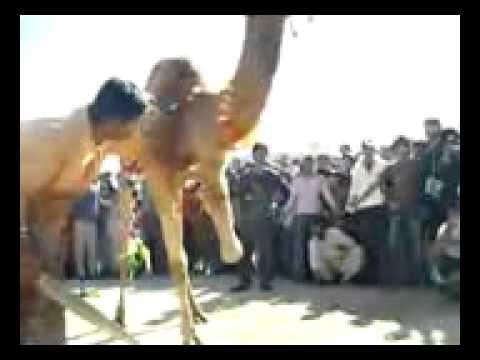 jani camel zeba