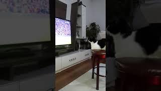Maç izleyen kedi