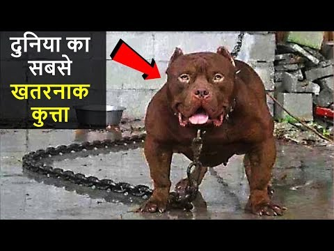 Xxx Mp4 ❌दुनिया के 10 सबसे खतरनाक कुत्ते 10 MOST DANGEROUS DOGS IN THE WORLD 3gp Sex