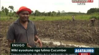 Wiiki eyookuna nga tulima Cucumber