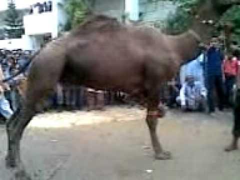 Camel Qurbani 7 November 2011