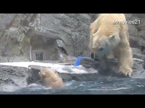 Xxx Mp4 Help Me Polar Bear Cub Can39t Swim Yet 3gp Sex