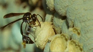 Potter Wasp Kills and Shoves Caterpillar Into Pot | Trials Of Life |  BBC Earth