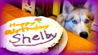 BIRTHDAY CAKE for the Dog Homemade How to Dog Birthday Cake Recipe | Snacks with the Snow Dogs 20