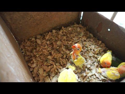 Tips meloloh bayi lovebird umur 1 minggu sd 2 bulan