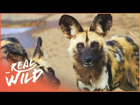 Wild Dogs vs Lioness Wild African Dogs Real Wild