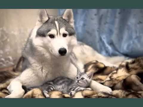 American Shorthair Grey | Set Of Cat Breed Pictures
