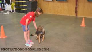 Home Raised Family Personal Protection Dog For Sale