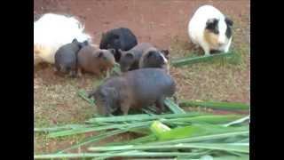 Criadores investem em raças exóticas de porquinhos da índia