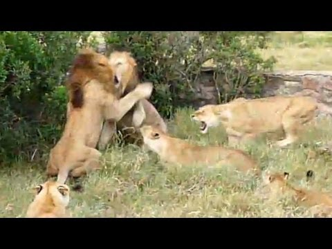 Lion Fight Part I