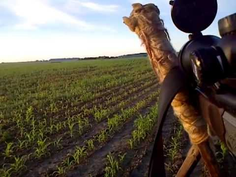 Rogacz czerwcowe polowanie
