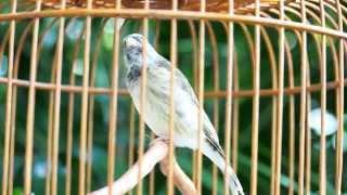 Burung Master : Blackthroat Super Gacor Download Mp3 Mp4 3GP HD Video