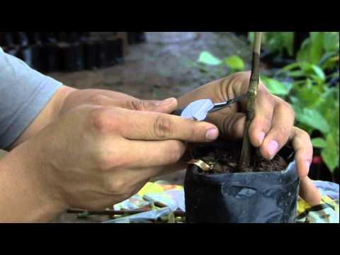 Injertos Acodos y Estacas de Cacao