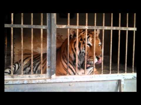 Pitbull Vs Tiger