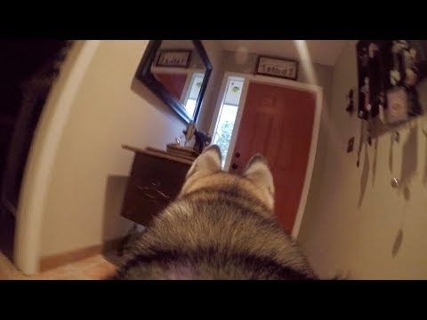 What Does My Husky Do When Home Alone GoPro Spy Footage
