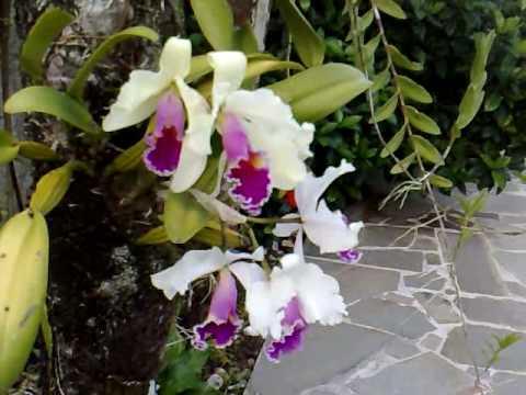 Minha orquídea Cattleya com 28 flores