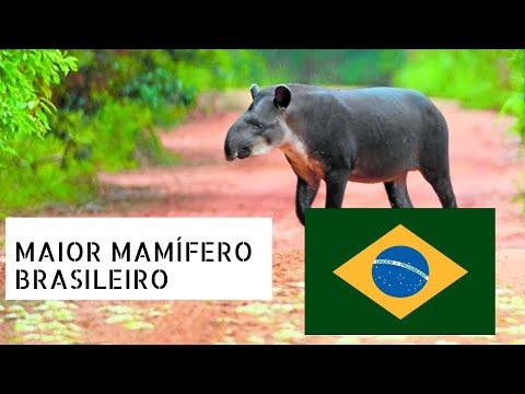 Veja O Maior mamífero terrestre brasileiro Tapirus terrestris