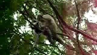 Monkey tortures baby birds