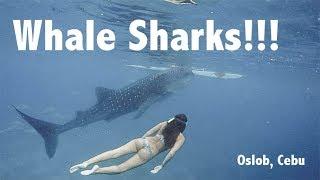 Swimming With Whale Sharks- Oslob, Cebu // Philippines Travel Vlog 04