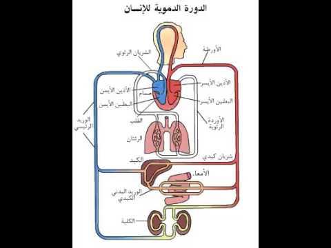 Xxx Mp4 الدورة الدموية في جسم الانسان 3gp Sex