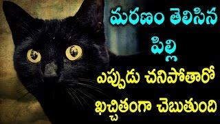 మనుషులు ఎప్పుడు మరణిస్తారో చెప్పే పిల్లి | Cat Predicts Death of 100 People | Remix King
