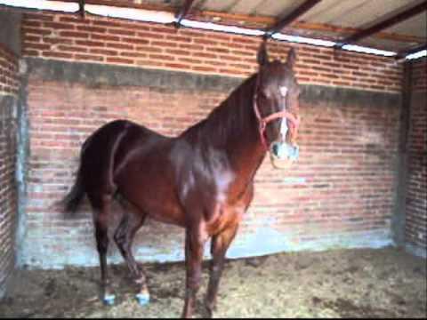 caballos de cuadra san ignacio de refugio slp