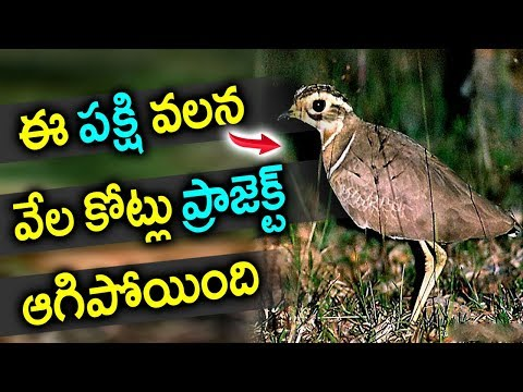 ఈ పక్షి వలన కొన్ని వేల కోట్లు ప్రాజెక్ట్ అదిపోయింది Facts Jerdon Courser Bird Kalivi Kodi