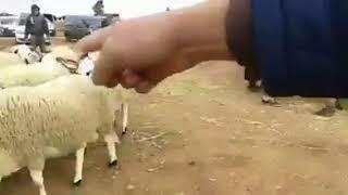 عيد الاضحى 2017 أفضل أضاحي العيد سيدي بنور