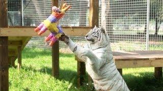 BIG Cats VS Piñatas!