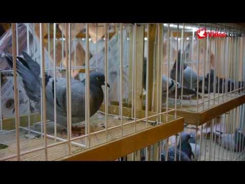 Sosnowiec 2014 7. Międzynarodowe Targi Gołębi Pocztowych EXPOGołębie 2 3