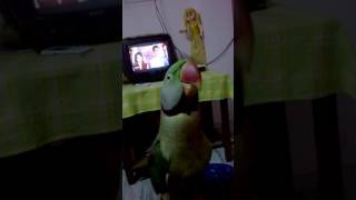 Indian talking parrot..Baby😘