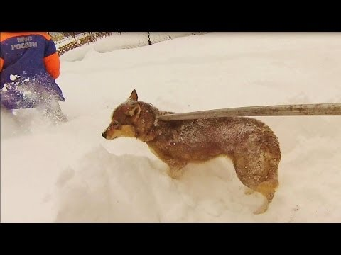 Xxx Mp4 Чудесное спасение собаки на Рождество Ежебудни спасателей 16 3gp Sex