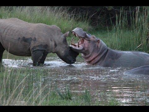 Rhino and Hippo Date Night Part 2