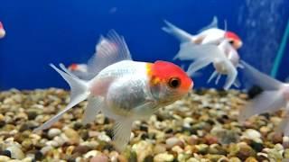 Aquarium fish - RED CAP ORANDA