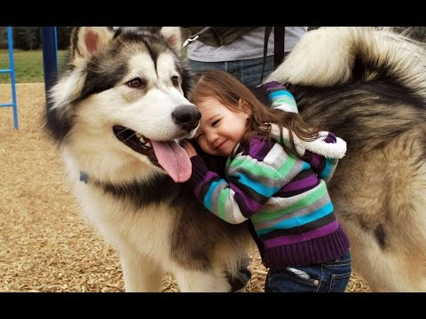 Alaskan Malamute Dog Playing And Showing Love To Babies Compilation Dog Loves Baby Videos