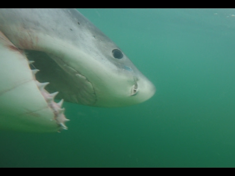 Xxx Mp4 Great White Shark Caught And Released Off Hilton Head SC 3gp Sex