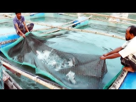 Xxx Mp4 Cage Fish Farming ভাসমান খাঁচায় মাছ চাষ পদ্ধতি সিরাজগঞ্জ Any Bd 3gp Sex