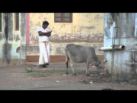 Man and cow chettinad